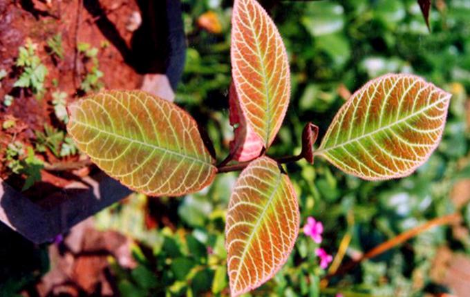 cây khôi nấm lim xanh cây thuốc nam chữa bệnh dạ dày