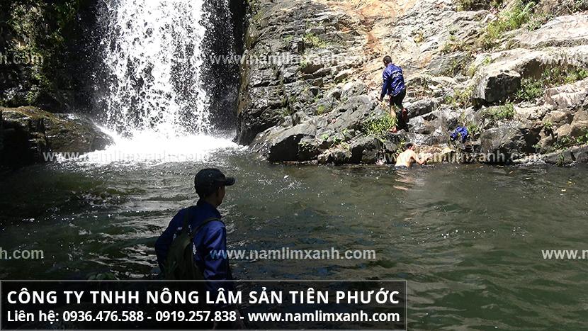 Cây nấm lim xanh rừng Quảng Nam chữa bệnh ung thư gan cần lưu ý gì?