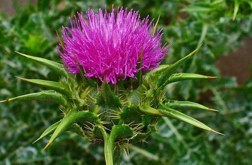 Chữa gan nhiễm mỡ hiệu quả với thảo dược thiên nhiên