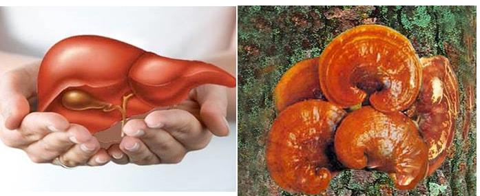 Đưa nấm lim xanh vào chế độ ăn cho người gan nhiễm mỡ cũng là phương pháp điều trị hữu hiệu