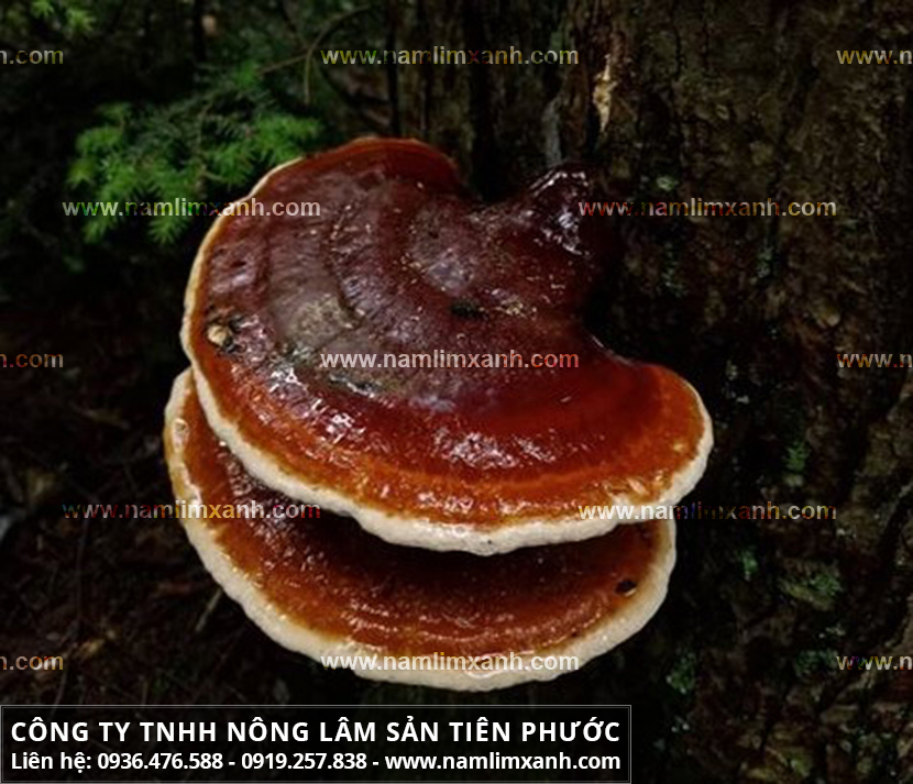 Nấm lim xanh Việt Nam với đặc điểm của nấm lim xanh rừng Quảng Nam