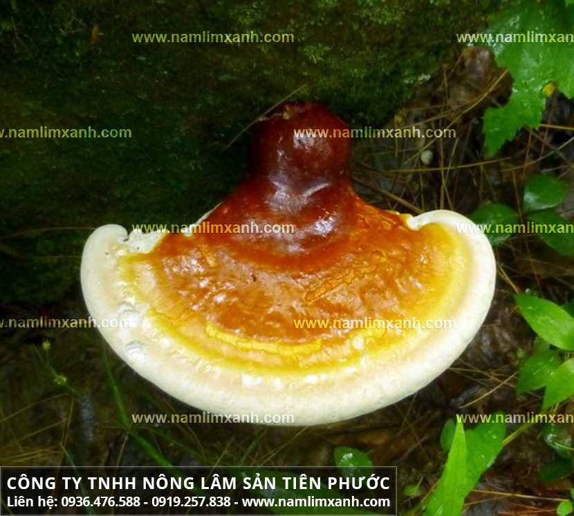 Tác dụng của nấm lim xanh Tiên Phước và cây nấm lim xanh Việt Nam