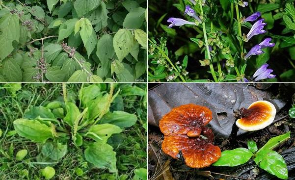 Bài thuốc điều trị bệnh xơ gan gồm cây an xoa, mã đề, bán chi liên, nấm lim xanh