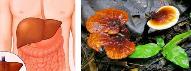 Điều trị xơ gan bằng thuốc nam nhờ sử dụng nấm lim xanh