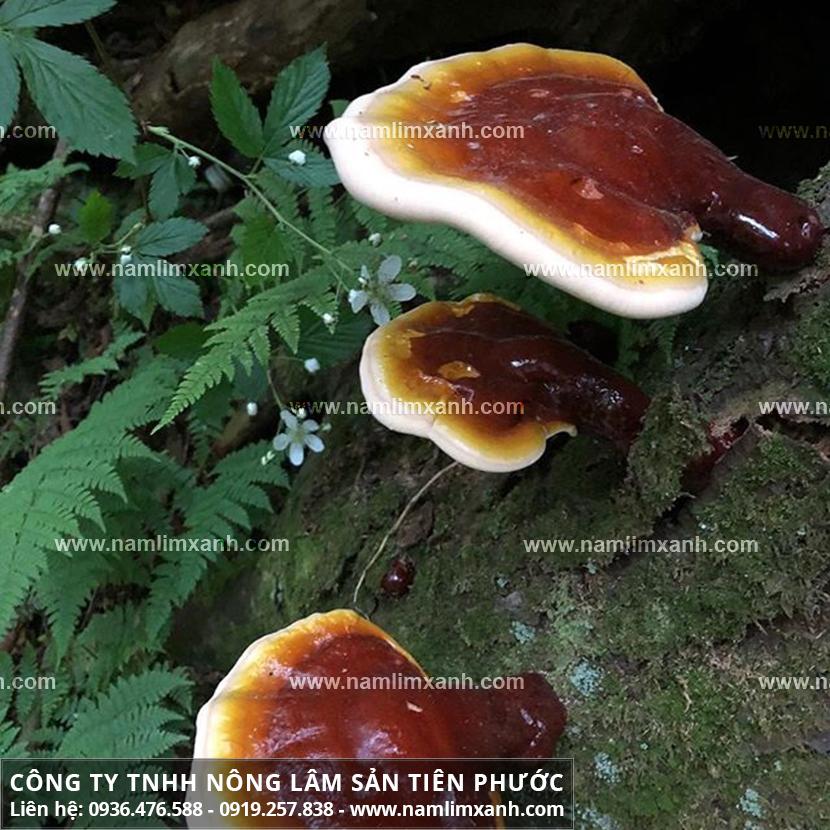 Nấm lim xanh tác dụng với công dụng nấm gỗ lim xanh rừng Quảng Nam