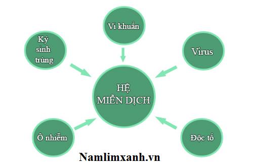 Tăng cường hệ miễn dịch nhờ nấm lim xanh