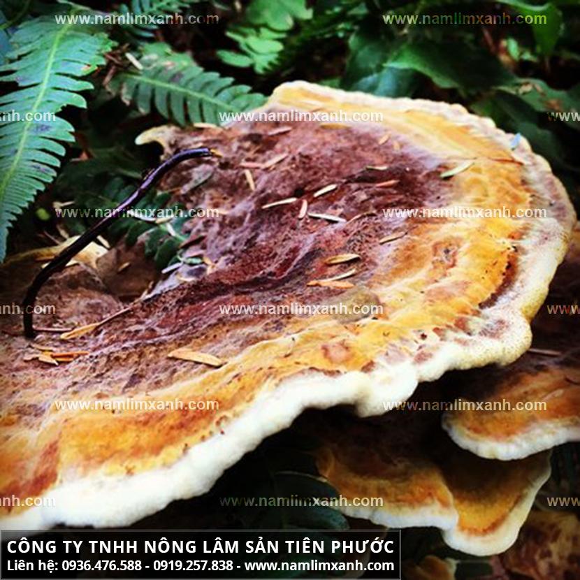 Nấm gỗ lim xanh Quảng Nam với vị trí mọc và tác dụng của nấm lim xanh