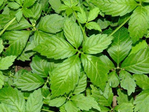 Điều trị bệnh huyết áp cao với cây thuốc quý
