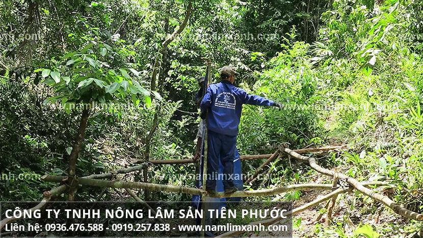 Nấm lim xanh và công dụng chữa bệnh ung thư của nấm cây lim xanh rừng