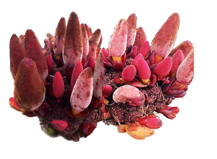 Nấm ngọc cẩu với tác dụng của nấm ngọc cẩu và cách dùng nấm ngọc cẩu đúng tránh tác hại của nấm ngọc cẩu.