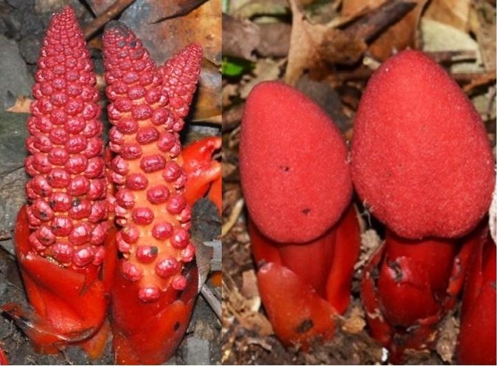 Nấm ngọc cẩu và tác dụng của nấm ngọc cẩu với cách dùng nấm ngọc cẩu phát huy công dụng của nấm ngọc cẩu.
