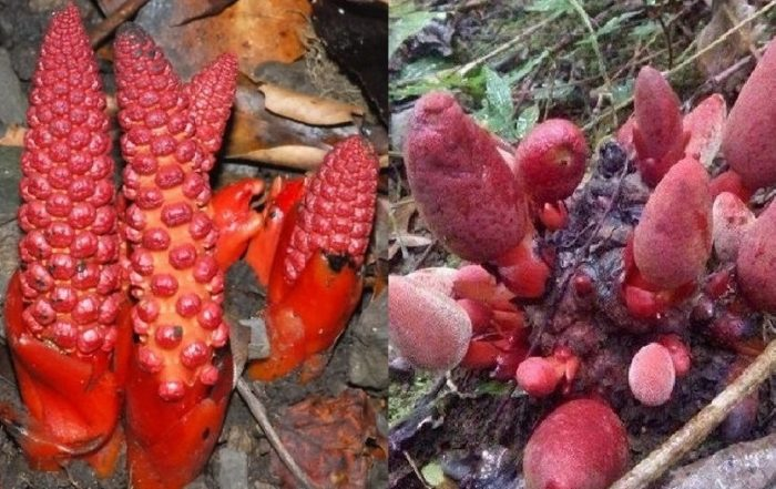nấm ngọc cẩu tự nhiên hình ảnh có mấy loại