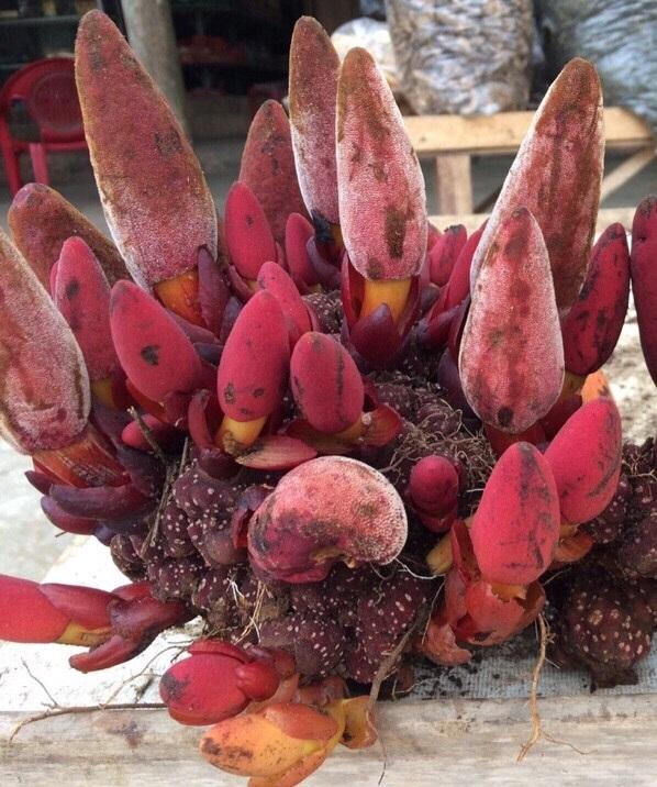 Hình ảnh nấm ngọc cẩu tươi có tác dụng nấm ngọc cẩu tốt nhất nếu làm đúng cách dùng nấm ngọc cẩu ngâm rượu chữa yếu sinh lý.
