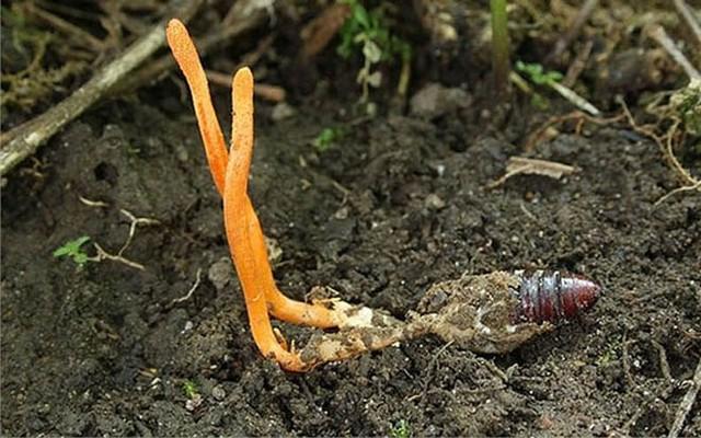 Đông trùng hạ thảo tự nhiên mọc ở các vùng núi cao trên 4000m
