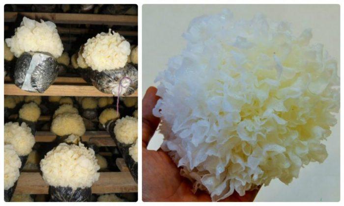 Nấm tuyết trồng trong túi ni lông được thu hoạch sau 4 đến 6 tháng