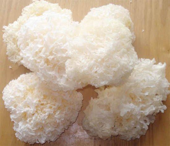 Mộc nhĩ trắng là dược liệu quý trong Đông y