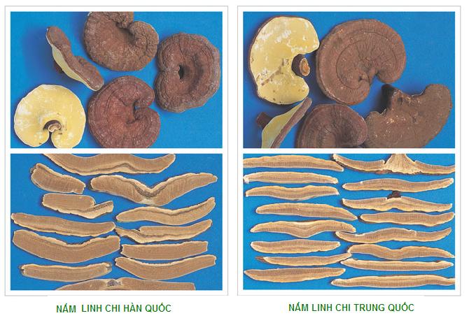 Cách phân biệt nấm linh chi Hàn Quốc và Trung Quốc.