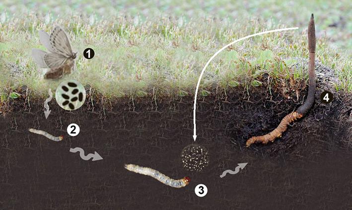 Quá trình biến đổi từ ấu trùng thành nấm của Đông trùng hạ thảo