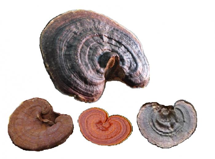 Tác dụng của nấm linh chi chữa bệnh gì hay nấm linh chi có tác dụng gì và tác hại của nấm linh chi đỏ.