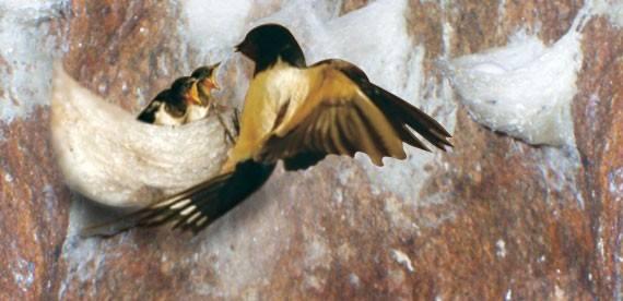 Chim yến làm tổ yến trong hang yến sào