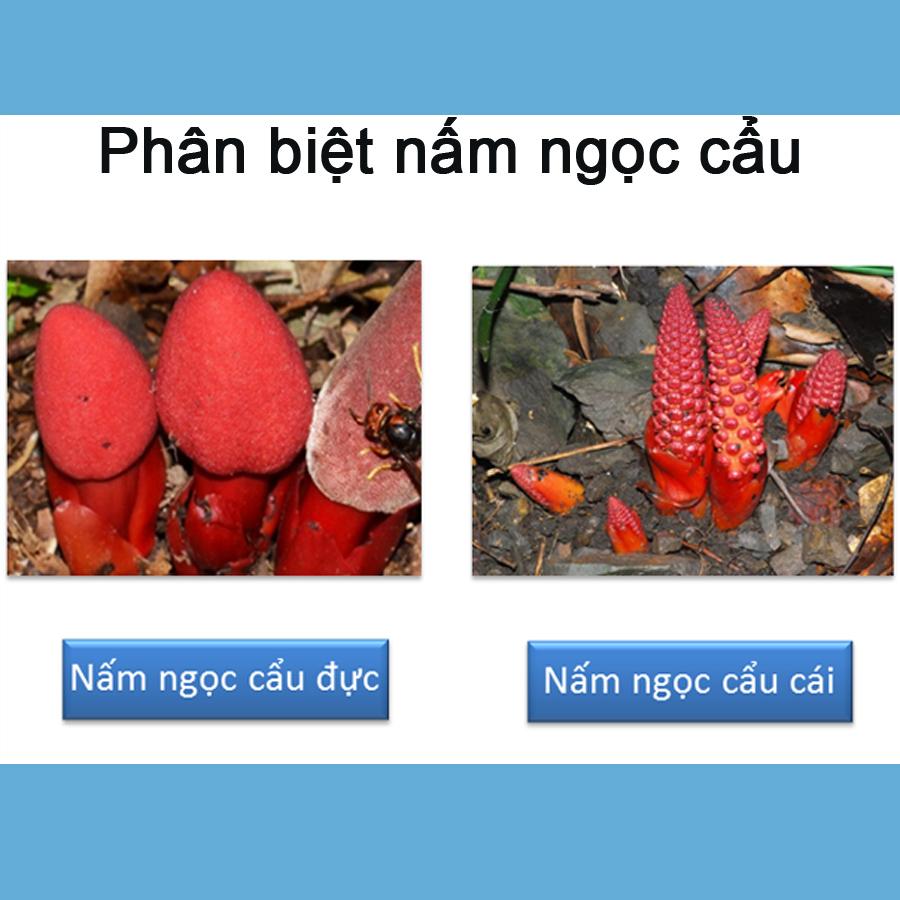 Phân biệt cây ngọc cẩu qua qua việc quan sát hình dáng bên ngoài đơn giản.