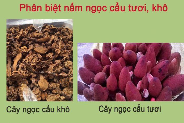Nấm ngọc cẩu tươi và nấm ngọc cẩu khô đều có tác dụng chữa bệnh hiệu quả.