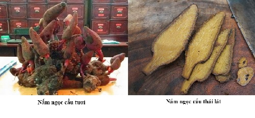 cách ngâm rượu nấm ngọc cẩu