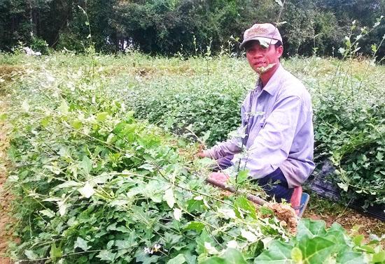 Cây cà gai leo được trồng như một loại thảo dược quý và mang lại giá trị kinh tế cho người dân.