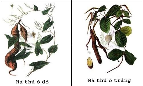 Cây hà thủ ô có hai loại: Hà thu ô trắng và hà thủ ô đỏ