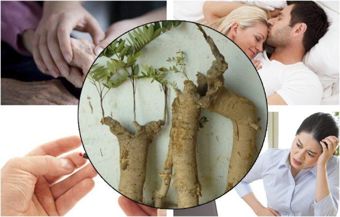 Tác dụng cây mật nhân trị tiểu đường, yếu sinh lý, viêm khớp, rối loạn tiêu hóa.