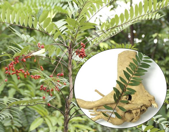 Cần lưu ý sử dụng cây mật nhân đúng cách để chữa bệnh.