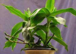 Tự trồng cây lược vàng chữa ung thư vòm họng