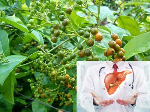 Cây xạ đen hỗ trợ điều trị các bệnh về gan