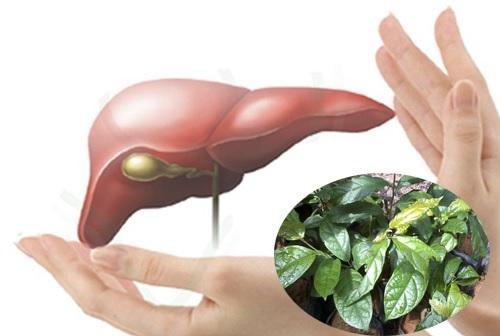 cây xạ đen chữa viêm gan xơ gan