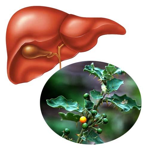 Giải pháp điều trị bệnh gan như: Xơ gan, viêm gan, nóng gan, men gan tăng cao, gan nhiễm mỡ... nhờ cây cà gai leo.