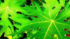 Chữa ung thư phổi bằng lá đu đủ và cách sử dụng lá đu đủ hiệu quả