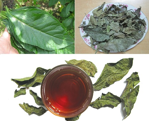 Giáo sư Lê Thế Trung và các cộng sự đã chứng minh hàng loạt công dụng chữa bệnh của cây xạ đen.