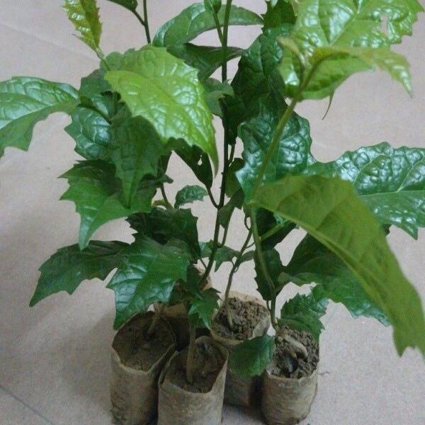 Chọn giống cây xạ đen là bước quan trọng trong quy trình trồng cây xạ đen