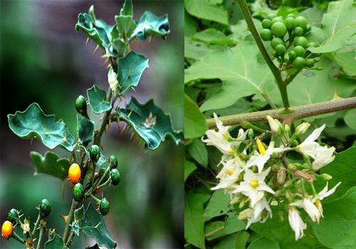 Cây cà dại Trung Quốc lá có gai nhọn, quả cứng. Cây cà dại ta hoa và quả mọc thành chùm