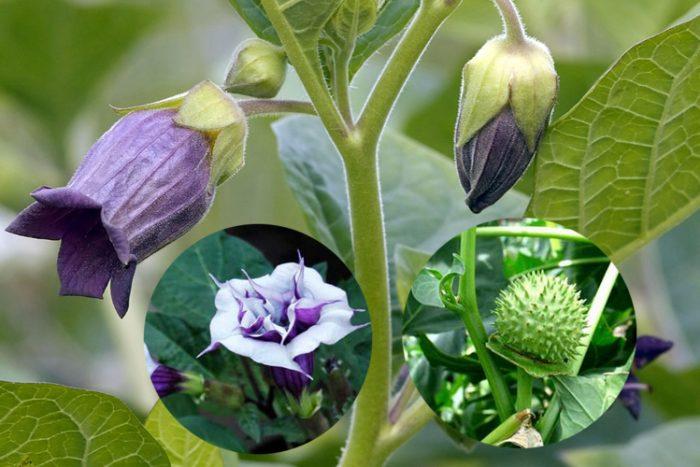 Cây cà độc dược có hoa màu tím, quả màu xanh có gai nhọn