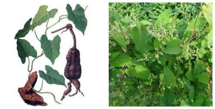 Hà thủ ô đỏ là loài thảo dược cây thân mềm, dạng le, thuộc hạ rau răm