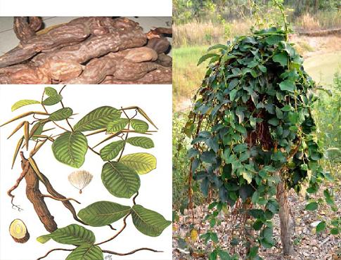 Hà thủ ô trắng tại Việt Nam được khai thác từ rễ cây củ vú bò