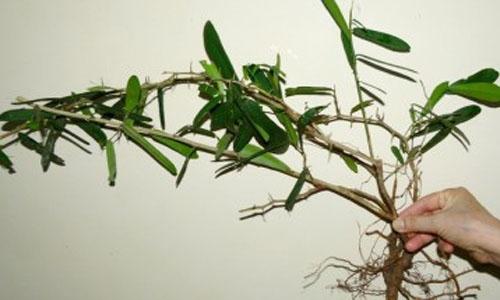 Hình ảnh cây xáo tam phân chữa bệnh ung thư
