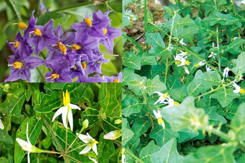 Hình ảnh cây cà gai leo khi ra hoa