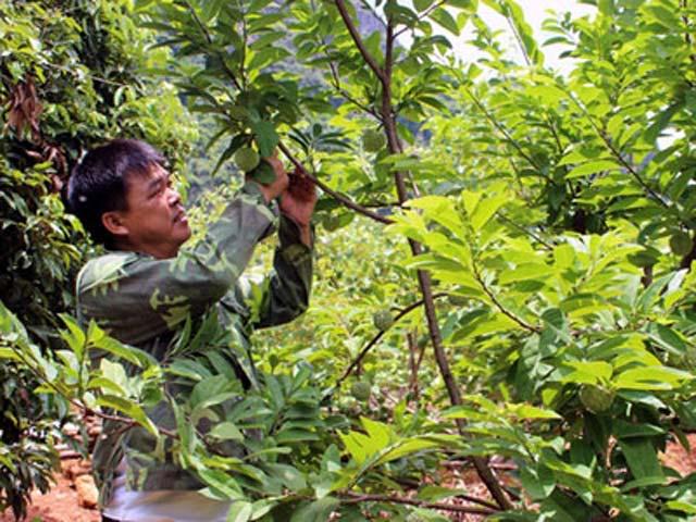 Kỹ thuật trồng cây xạ đen đơn giản nhưng phải tuân thủ các bước nghiêm ngặt