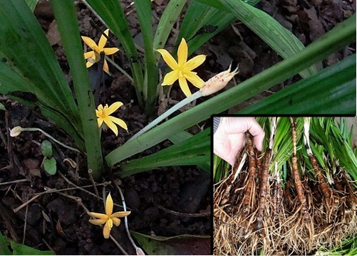 Sâm cau là loại cây có hoa vàng, lá giống lá cau