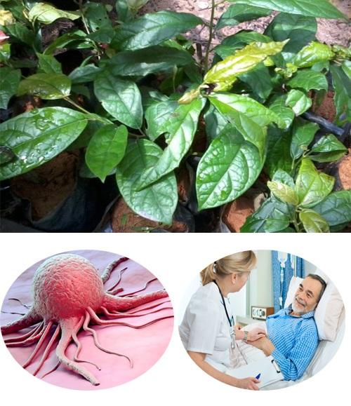 Tác dụng của cây xạ đen giúp tiêu diệt và làm chậm sự phát triển tế bào ung thư.