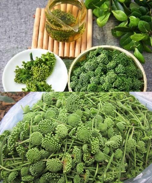 Hình ảnh hoa tam thất khi nấu trà. Có thể phân biệt hoa tam thất Trung Quốc và Việt Nam thông qua bã trà