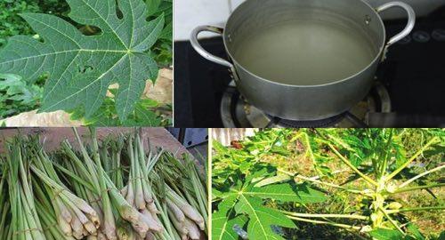 Uống nước lá đu đủ và củ sả có thể tiêu diệt tế bào ung thư