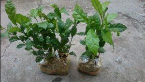 Cây xạ đen được ươm trong các bầu trước khi trồng.